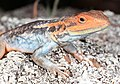 Tawny Dragon (Ctenophorus decresii) (9388493389).jpg