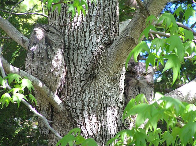 https://upload.wikimedia.org/wikipedia/commons/thumb/a/a9/Tawny_Frogmouth_camouflage.jpg/640px-Tawny_Frogmouth_camouflage.jpg