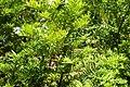Taxus canadensis kz03.jpg