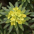 Teguise - Camino de Teguise al las Nieves - Euphorbia regis-jubae 04 ies.jpg