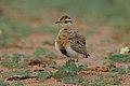 Temminck's courser, Cursorius temminckii, at Mapungubwe National Park, Limpopo Province, South Africa (31921734677).jpg