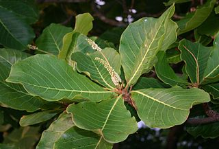 <i>Terminalia</i> (plant) genus of plants