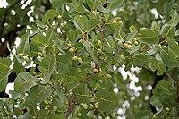 Terminalia muelleri leaves in Talakona, AP W IMG 8296