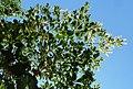 Terminalia phanerophlebia, loof, blomme en vrugte, Manie van der Schijff BT, c.jpg