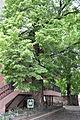Ternopilska-lypa-15057798.jpg