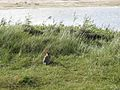 Terschellinger Natuurtochten - Nature Guide - panoramio (10).jpg