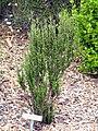 Tetraglochin alatum - University of California Botanical Garden - DSC08955.JPG