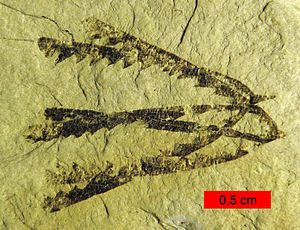 Graptolithina - Pendeograptus fruticosus from the Bendigonian Australian Stage (Lower Ordovician; 477-474 mya) near Bendigo, Victoria, Australia. Two overlapping, three-stiped rhabdosomes