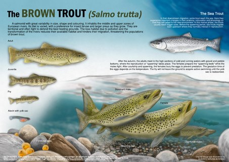 Illustration showing the life cycle of a common trout (Salmo trutta)