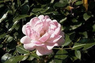 The Fairy Rose Wikipedia