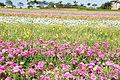 The Flower Fields at Carlsbad Ranch 40 2014-04-28.jpg