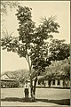 The ornamental trees of Hawaii (1917) (14579287660).jpg