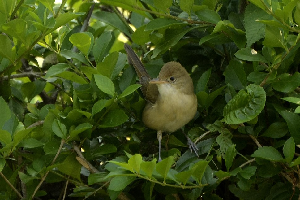 Thick-billed warbler (Iduna aedon) from The Anamalai hills JEG0635