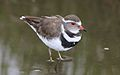 Three-banded Plover (or Three-banded Sandplover), Charadrius tricollaris, at Marievale Nature Reserve, Gautent, South Africa (30359213824).jpg