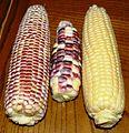 Three cultivars of sweet corn.jpg