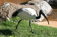 Threskiornis aethiopicus Latham.jpg
