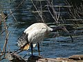 Threskiornis molucca -Coolart Wetlands, Mornington Peninsula, Australia-8.jpg