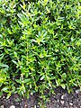 Thymus longicaulis ssp. odoratus.jpg