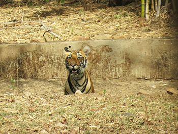 Tiger cub @ tadoba.jpg