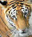 Tiger national pride.jpg