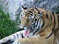 Tigre de Sibérie (Panthera tigris altaica) (4).jpg