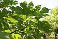 Tithonia diversifolia 4zz.jpg