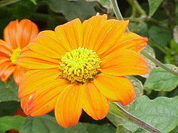 Tithonia rotundifolia1.jpg