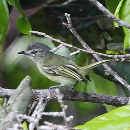 Tolmomyias poliocephalus - Gray-crowned Flycatcher.JPG