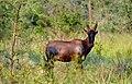 Topi in Akagera National Park 1.jpg