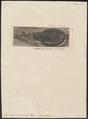 Torpedo marmorata - 1700-1880 - Print - Iconographia Zoologica - Special Collections University of Amsterdam - UBA01 IZ14200035.tif