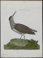 Totanus ocrophus - 1790-1796 - Print - Iconographia Zoologica - Special Collections University of Amsterdam - UBA01 IZ17400099.tif