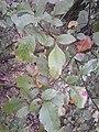 Toxicodendron parviflorum.jpg