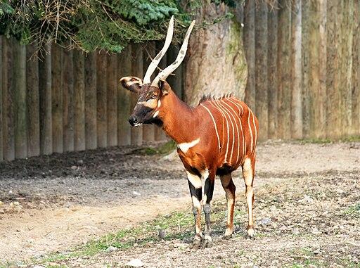 Tragelaphus eurycerus Dvur zoo 2