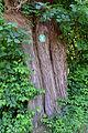 Traisen - Naturdenkmal LF-047 - zwei Zitterpappeln (Populus tremula) - 2.jpg