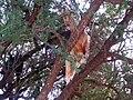 TreeCimbingGoat.jpg