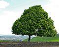 Tree (2497123937).jpg