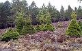 Trees Trimmed by Deer - geograph.org.uk - 777168.jpg