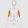 Triceps brachii muscle01.png