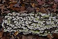 Trichaptum biforme, Gatineau Park (44607463894).jpg
