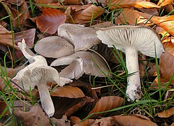Tricholoma terreum cropped.jpg