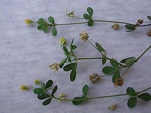 Trifolium dubium - Image: Trif dubium 204ss