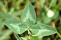 Trifolium.pratense4.-.lindsey.jpg