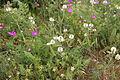Trifolium montanum IMG 8834 bakkeklöver hovedöya.JPG