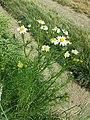 Tripleurospermum inodorum sl8.jpg