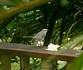 Tropical Mockingbird.Mimus gilvus - Flickr - gailhampshire.jpg