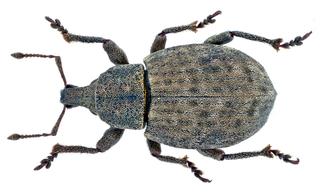 <i>Tropiphorus terricola</i> Species of beetle