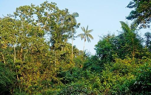 Tropischer Regenwald am Río Cuyabeno, Ecuador