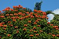 Tulipán africano (Spathodea campanulata) (14253501658).jpg