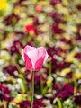Tulip (9029151432).jpg