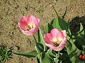 Tulipa florenskyi 2.jpg